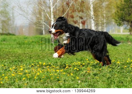 happy Beautiful Bernese mountain dog runs for fun in the summer outdoors