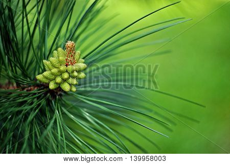 Branch of pine tree with green cone