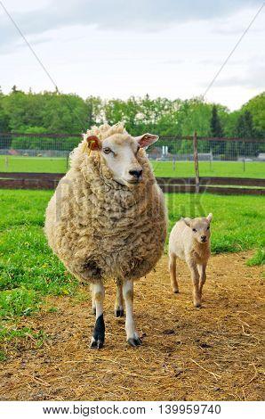 Sheep and small lamb on the pasture