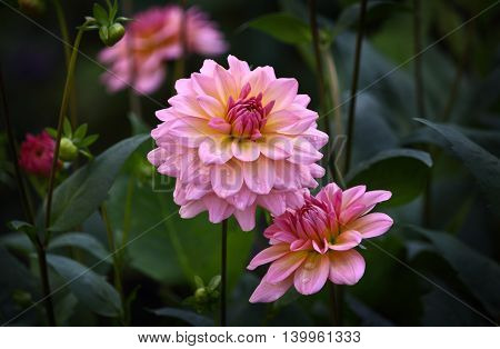 Beautiful pink dahlia flower in a natural garden environment