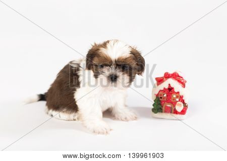 One funny shih-tzu puppy with christmas candle isolated on white background