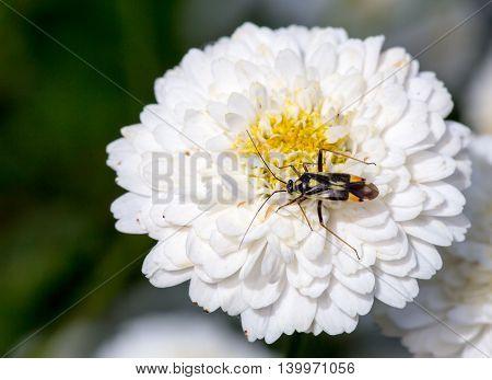 Bug On A Blossoming Chamomile, Roman - Anthemis Nobilis - White Flower