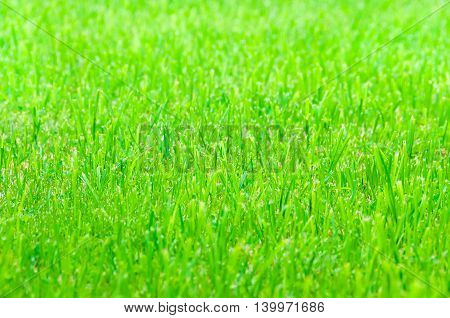 Green grass as texture or background. Nature