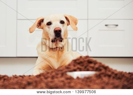 Hungry Labrador Retriever