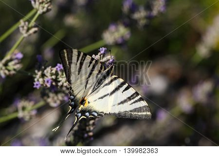 Scarce Swallowtail (Iphiclides podalirius) butterfly on a lavender flower.