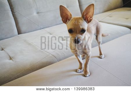 Closeup of a pretty chihuahua dog standing on a couch