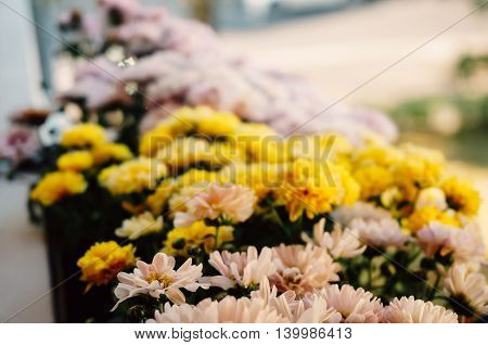 Blurry pose of some yellow and pink chrysanthemum