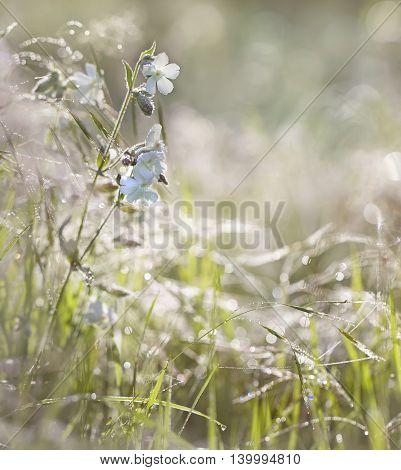 white wildflowers slumber broadleaf in the sunny morning dewy grass