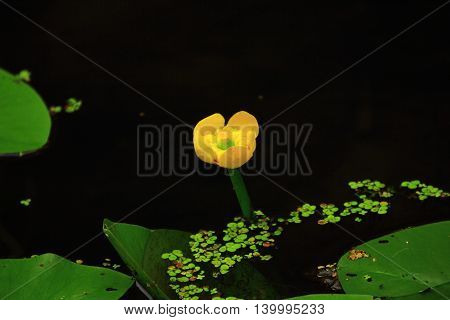 Yellow potbelly peeking out from the dark water swamps surrounded by large rounded leaves and duckweed floating on the surface of the water