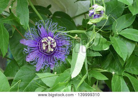 May-pop Purple Passion flower(Passiflora Incarnata),Spring Hill botanical garden,Florida