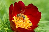 Beautiful backgroung with a peonny flower being pollinated by a bee in summer season poster