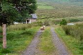 farm road with single sheep and cottage. poster