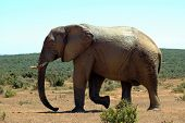 An African elephant walking towards other elephants in a game reserve in South Africa poster