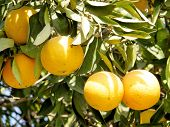 Mature Oranges growing on Citrus plant in Neve Monosson near Or Yehuda Israel poster