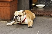 Serious bulldog on the Florence street. poster