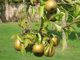 English Pear Tree