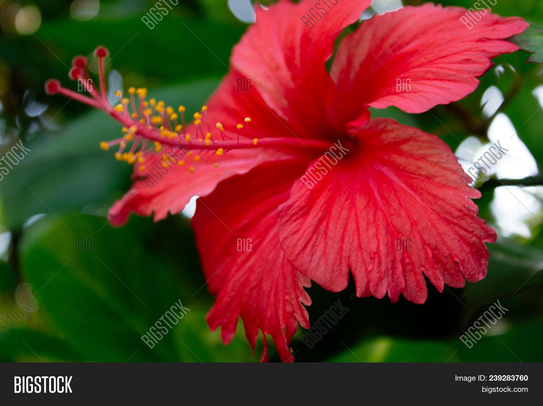Sri lanka national image photo free trial bigstock sri lanka national flowers the red shoe flower or hibiscus rosa sinensis chinese izmirmasajfo