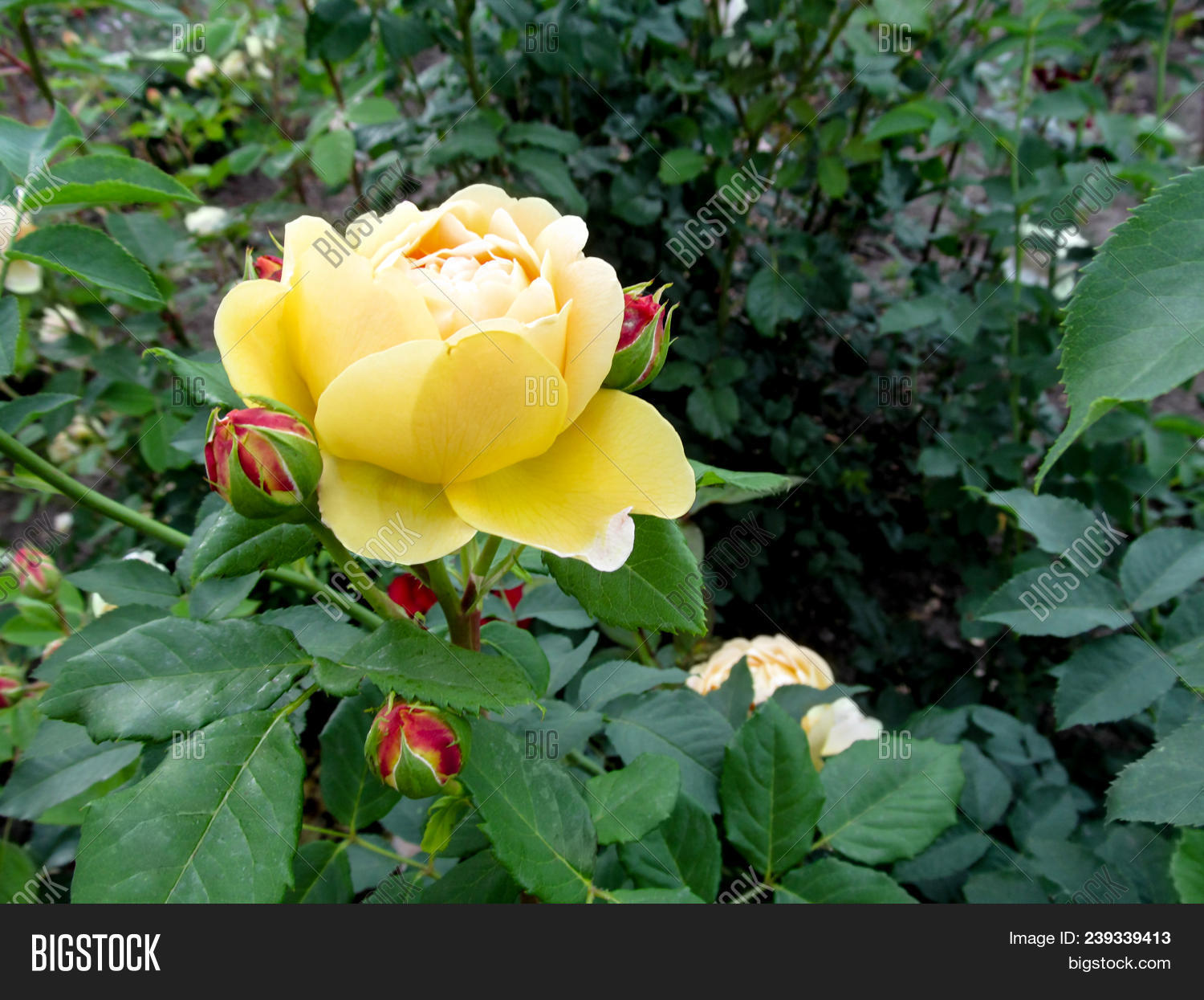 Beautiful yellow rose image photo free trial bigstock a beautiful yellow rose flower of amber queen variety with pink buds elegant izmirmasajfo