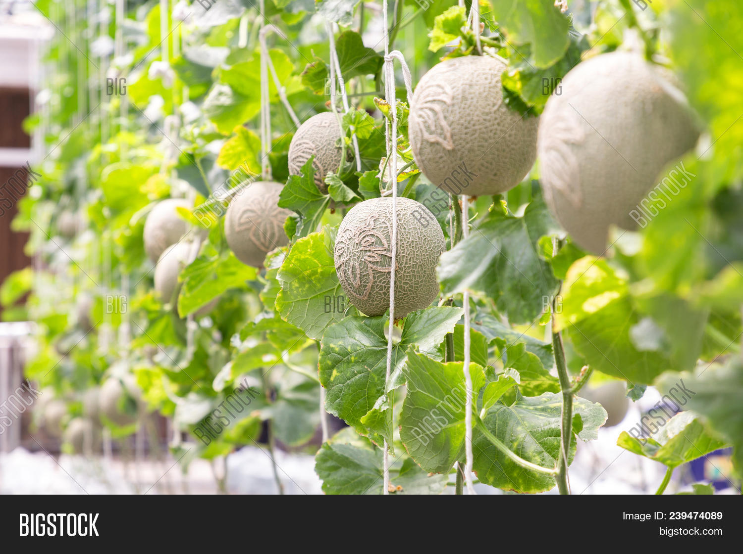 Green Melon Cantaloupe Image Photo Free Trial Bigstock 1 2 3 4 5. green melon cantaloupe image photo