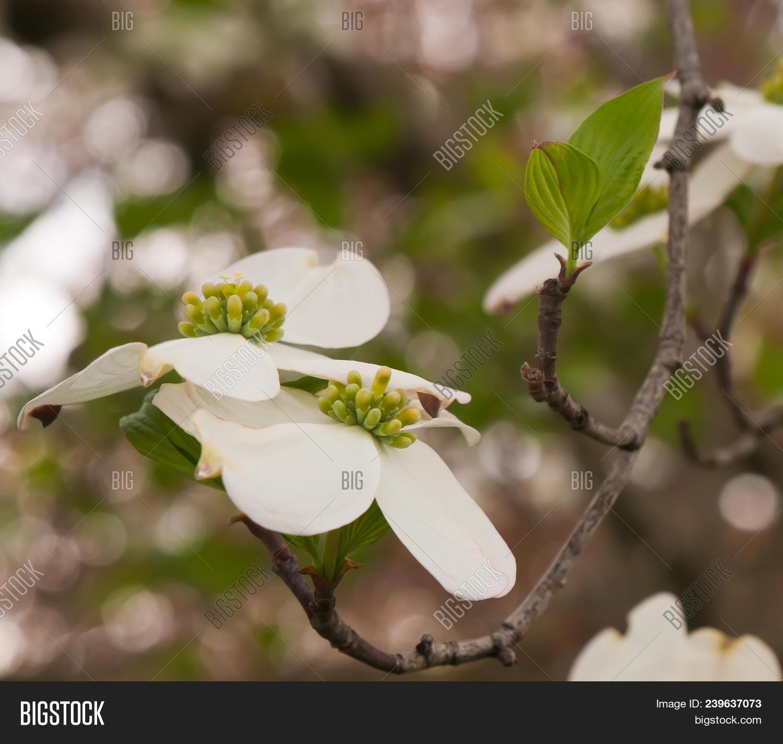 White Dogwood Flowers Image Photo Free Trial Bigstock