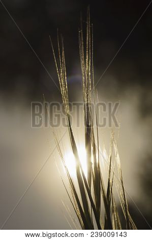 Grass. Sun. Meadow Grass With Dew Drops. Close Up. Out Of Focus Sunset Sky In The  Background.  Sele