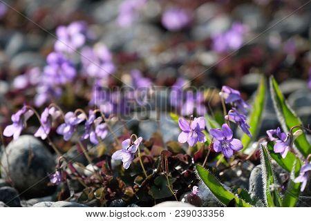 Wild Violet Flowers Blossoming In Spring. Spring Violets Bloossoming In Van Duzen Botanical Garden I