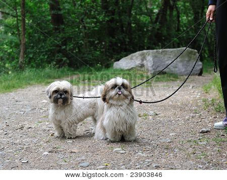 Cute Funny Shih Tzu Breed Dog Outdoors In A Park