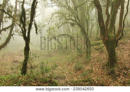 Mystic Ambience In A Rainforest Near Ghandruk, Nepal. Branches Of Trees Covered By Green Moss. Fogy