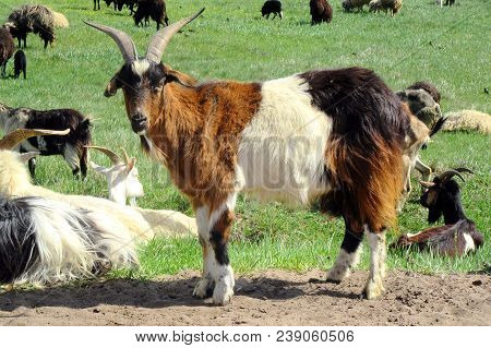 White And Brown Goat Portrait.  Close Up And Head Of Mammal, Farming Animal. Herd Of Animals In Outd