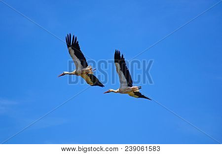 Two Adult Storks In Flight Against A Blue Sky, Silves, Portugal, Europe.