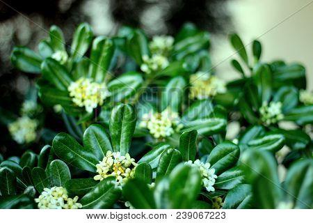 Evergreen Shrub Plant Pittosporum Tobira, Australian Laurel, Japanese Pittosporum, Mock Orange, Japa