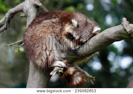 Sleeping Raccoon On The Branch. Photography Of Wildlife.