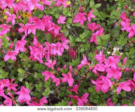 Big Pink Azalea Or Rhododendron In A Organic Garden. Season Of Flowering Azaleas . Azaleas Are Shade