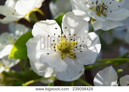 Flowering Branch Of Pear. Blooming Spring Garden. Flowers Pear Blurred Background. Pear Blossom In E