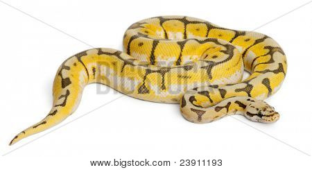 Female Killerbee Royal python, ball python, Python regius, 1 year old, in front of white background