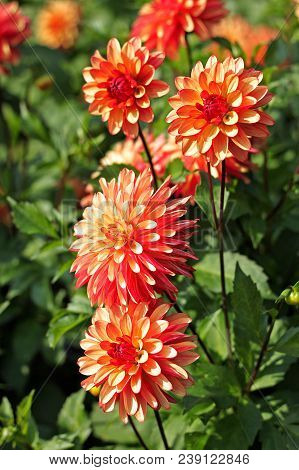 Rose-colored Dahlia Flowers In The Botany Garden