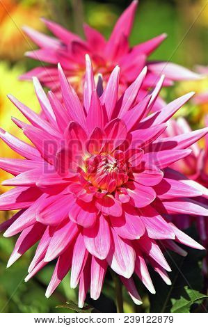 Rose-colored Dahlia Flower In The Botany Garden