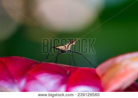 Robber Fly, Assassin Fly (asilidae) On The Flower