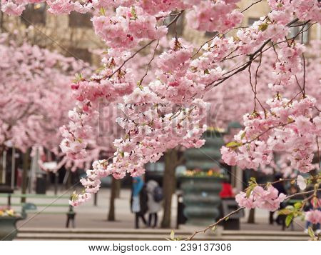 Beautiful Cherry Blossom In Stockholm In May