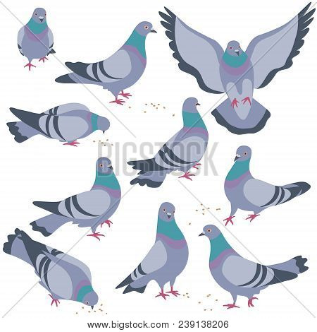 Set Of Rock Doves Isolated On White Background. Bluish Pigeons In Moiton - Walking, Eating, Flying.