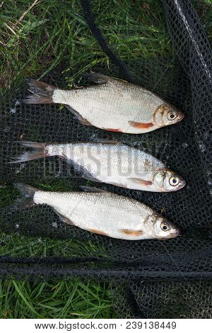 Several Freshwater Fish: White Bream Or Silver Fish, Common Nase And Zope Or The Blue Bream On Black