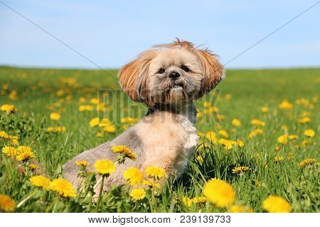 Small Lhasa Apso Is Sitting In A Field Of Dandelions