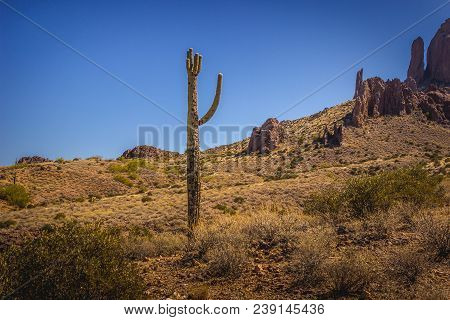 Beautiful Saguaro Cactus