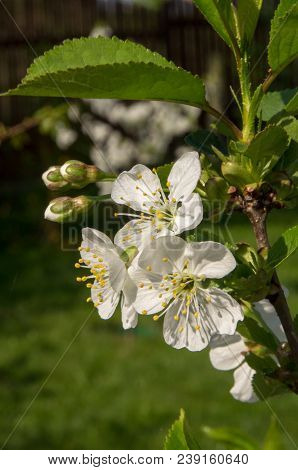 Save Download Preview Flowers On The Branches Of A Tree Cherry Spring. Blossoming Branch Close-up. S