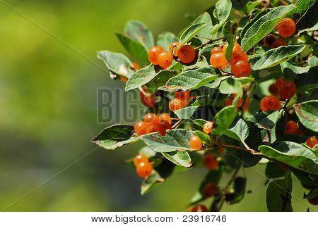 Chokecherry Berries