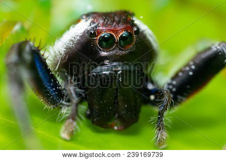 Close macro portrait of Mopsus Mormon jumping spider with a monkey face, found in Indonesia jungle, common in Australia.