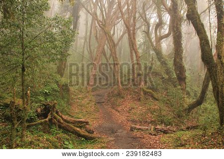 Trail From Tadapani To Ghandruk, Nepal. Rhododendron Forest On A Fogy Day.
