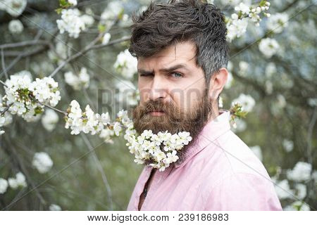 Bearded Male Face Near Blooming Cherry Tree. Hipster With Cherry Blossom In Beard. Man With Beard An