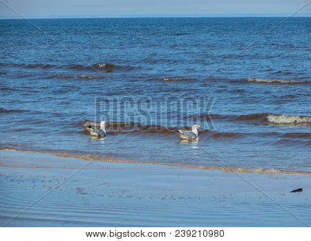 Seagulls On The Shore Of The Gulf Of Riga, Early Spring.latvia 2018