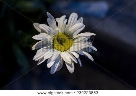 Bellis perennis aka the common daisy, shallow depth of field, photographed in shadow